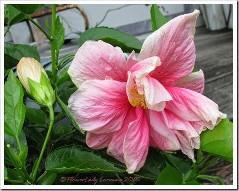 04-29-hibiscus