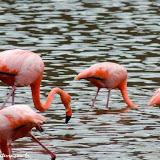 Flamingos - Floreana - Galápagos