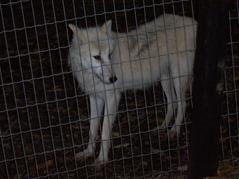 2007.08.09-015 loup arctique