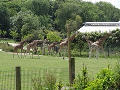 201506.21-050 girafes