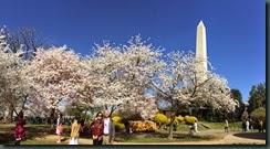 华盛顿特区东波托马克公园的樱花.