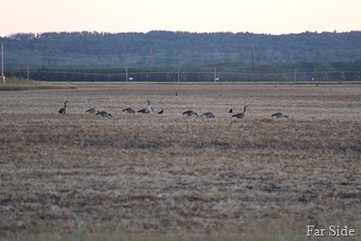 Canada Geese in the pea field