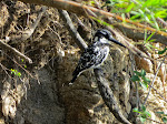 Pied kingfisher (photo by Clare) - Kruger National Park