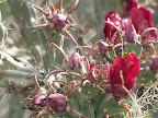 Red flowering buckhorn cholla 5/8