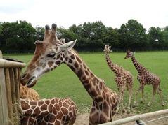 201506.21-028 girafes