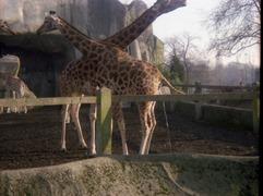 1981.02.01-012.12 girafes