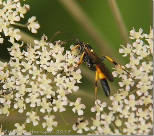 wood-wasp-2