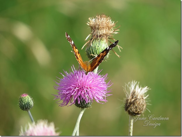 American_Lady_thistle