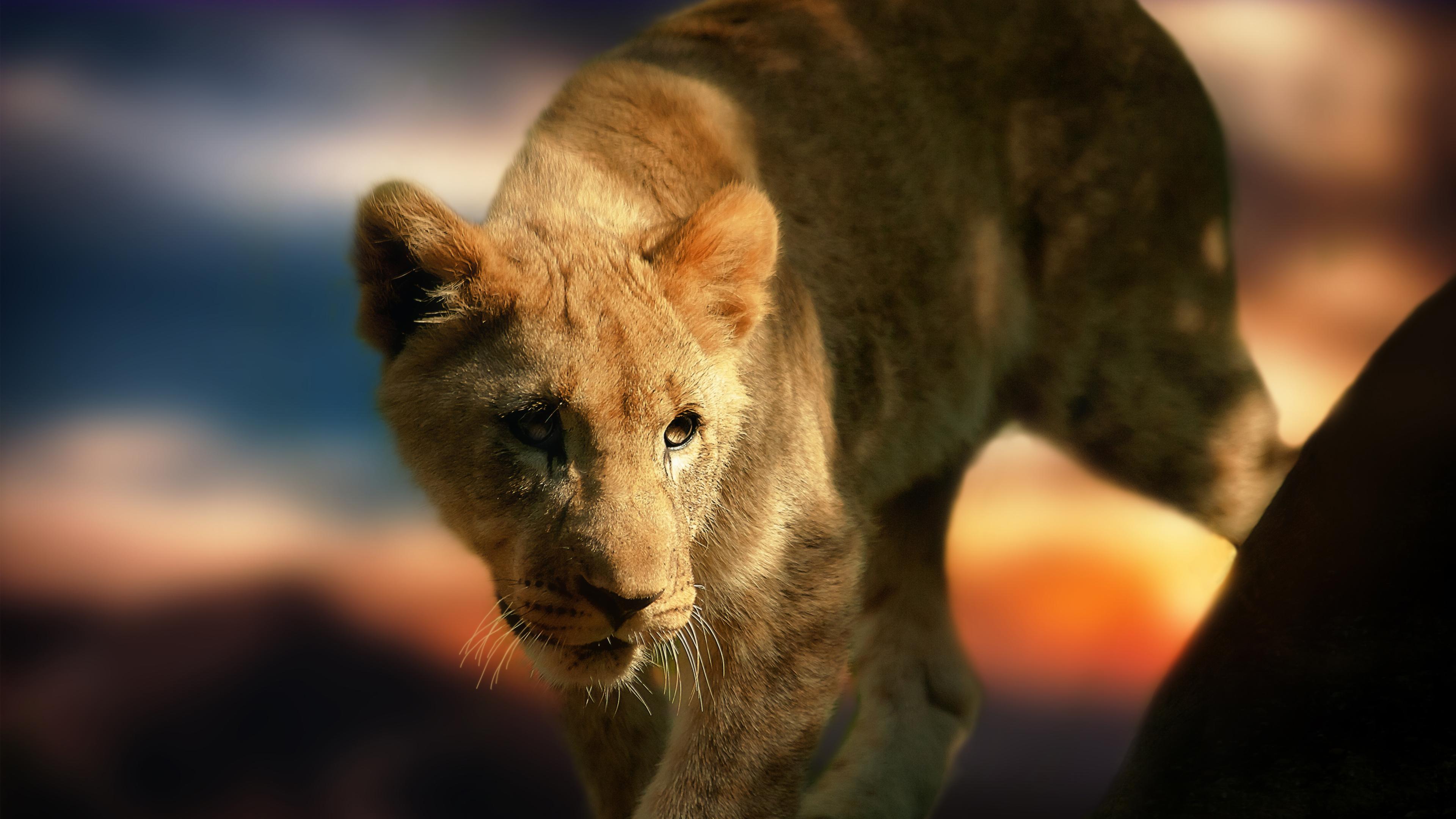 Best Wallpaper Lion Facebook - lion%252520cub  Gallery_45575.jpg