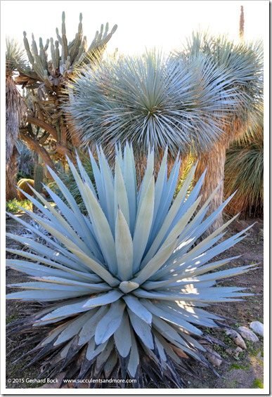 141227_Huntington_0278_Agave-applanata