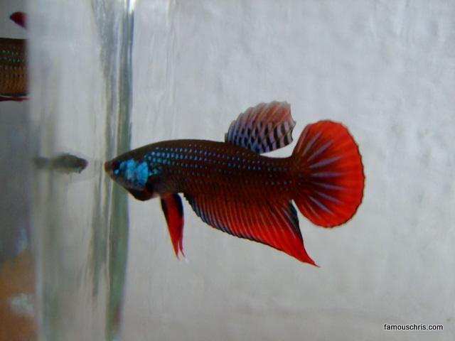 Samuel khoo kah kheng archives for Betta fish training