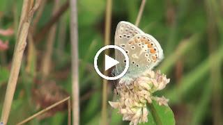 Op witte klaver doet dit Icarusblauwtje zijn mooie vleugels voor ons open