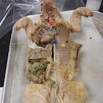 fetal_pig_coronary_labeled.jpg