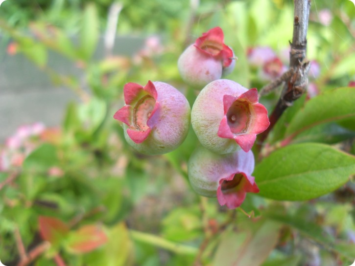 Haven - blåbær