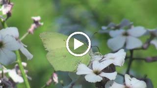 Een overwinterde Citroenvlinder op Pinksterbloem