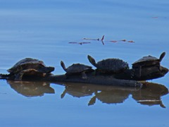 Arkansas River Turtles