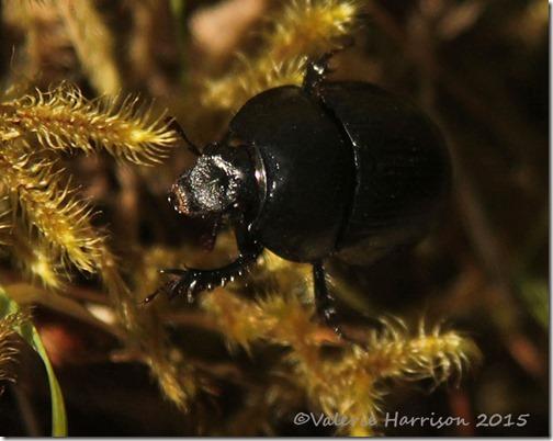 4-Dor-beetle