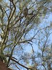 Owl in tree -zoom