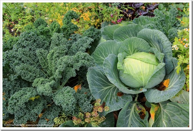 150911_AlaskaBG_cabbage