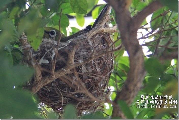 孵蛋中的綠袖眼,每次去偷看時都會看到一隻大眼鄧外面,著常這樣打攪牠們實在過意不去。