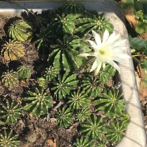 white-flower-cactuses