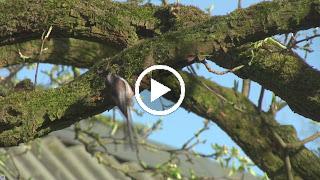 De Staartmees haalt nestmateriaal (mosdeeltjes) van de perenboom
