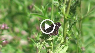 De zomervorm van het Landkaartje op Boerenwormkruid