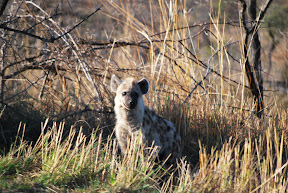 A young hyena... surprisingly not nearly as creepy as an adult hyena.