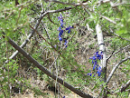 Tall Mountain Larkspur, AZ Trail 4/29