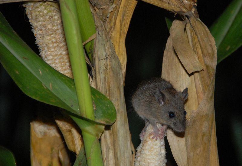 bamboo-flowering-rats