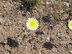 Desert Dandelion/Yellow Compositacea 4/3