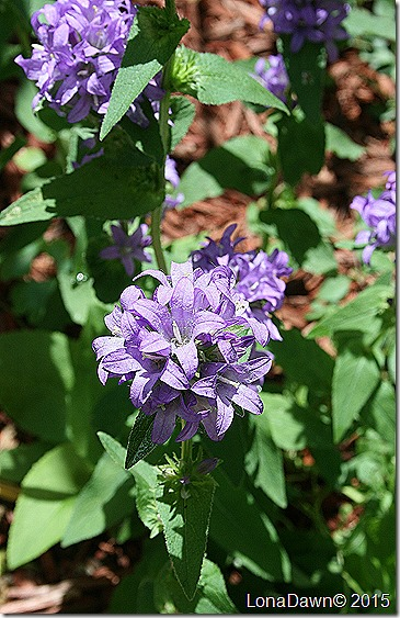 Clustered Purple Bellflower