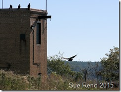 Sue Reno_Black Vultures_Image 2
