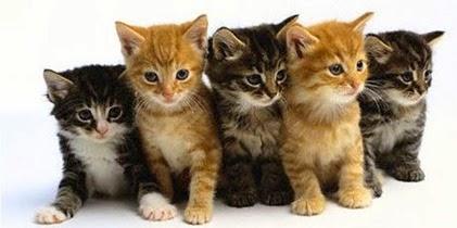 vari-tipi-di-gattini
