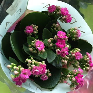 Purple Kalanchoe from Holland