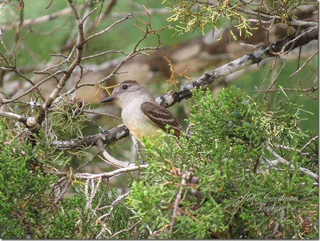 Eastern_Wood-pewee1
