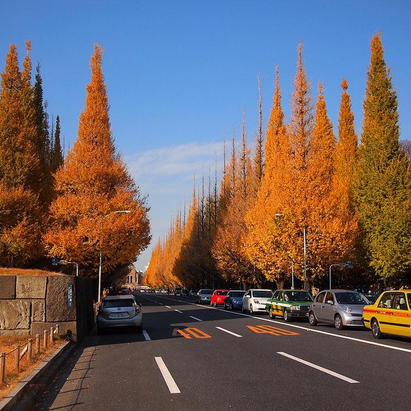 The Ginkgo Avenue in Tokyo