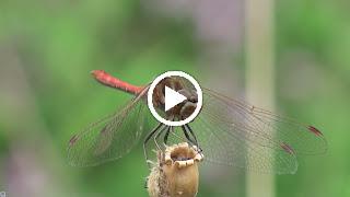 Mannetje Steenrode heidelibel eet prooi