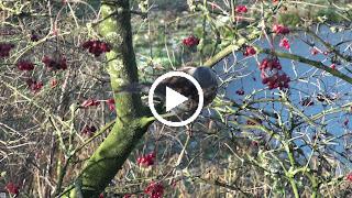 Een Kramsvogel lust graag bessen van de Gelderse roos