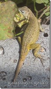 Galapagos Gecko