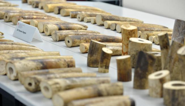 Confiscated Ivory displayed at Zurich Airport in Kloten on Tuesday, 4 August 2015. Swiss authorities say customs officials at Zurich airport have seized 262 kilograms (578 pounds) of ivory that three Chinese men had dispatched from Tanzania. Switzerland's customs authority said Tuesday that the ivory — found during a security check on July 6 and packed in eight suitcases — had an estimated black market value of about 400,000 francs (US $413,000). Photo: Walter Bieri/Keystone via AP