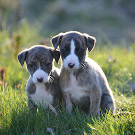 Whippet by Marius Birkeland - Animals - Dogs Puppies ( puppies, pup, puppy, dog, whippet )
