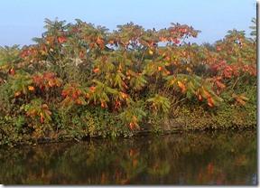 7 red sumach