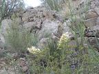 Blooming Banana Yucca in Buehman Canyon 4/22