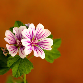 Mallow Flower by Ramesh P - Flowers Flowers in the Wild ( mallow, mallow flower, pink flower, flower )