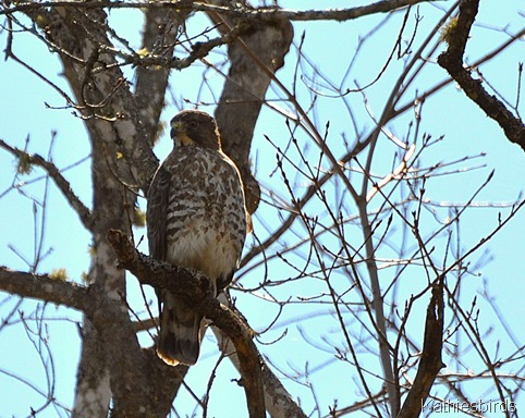 17. broadwinged hawk-kab
