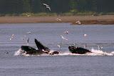 Humpback Whales Bubble Feeding - Juneau, AK