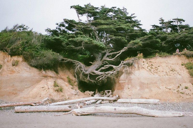 kalaloch-tree-of-life-4