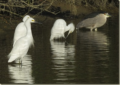 Snowy Egrets & Blk Crowned Night Heron Wilderness TT 12-17-14_1