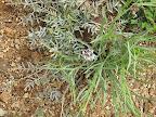 Alfalfa Wild Flower (??)  AZ Trail 4/16